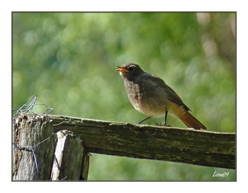 Rouge-queue1130006 dans oiseaux