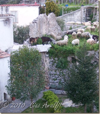 Ciao Amalfi Coast Blog Goat Sheep Invasion2