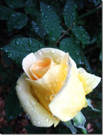 200px-Rose_yellow_dew