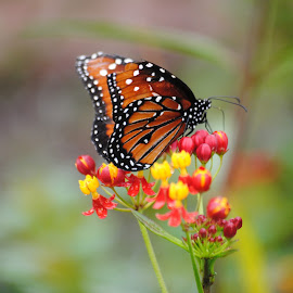 Monarch Butterfly feeding by Richard Rabitaille - Novices Only Macro ( monarch butterfly, florida, st. marks, us, butterfly flower,  )