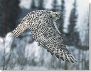 A  super sense Excellent twilight vision enables the gyrfalcon to hunt in the winter gloom.