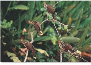 Birds of a feather The hoatzin lives in a small group or colony.