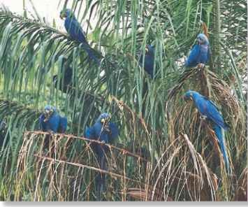 A Calm in the palm A small flock of hyacinth macaws rests close to its abundant food source.