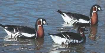 Pretty paddlers A graceful swimmer, the red-breasted goose winters on lakes or reservoirs.`