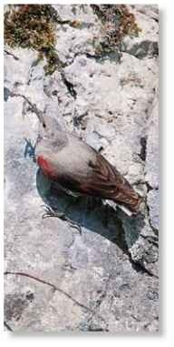 True to its name An extremely agile wallcreeper clings to a steep rock face with its long, sharp toes.