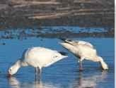 Probing bill The snow goose may feed while on the water, foraging for juicy plants in the shallows.