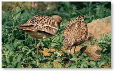 A probing pair Two stone curlews search the grassland floor for food, probing for worms and insects.