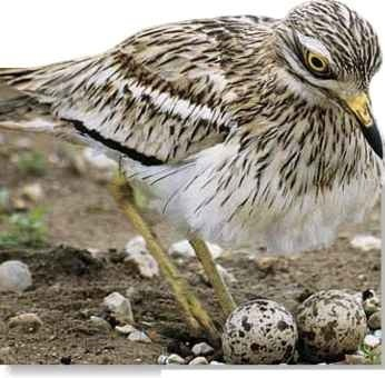 Keep it simple The curlew's nest is just a slight depression.