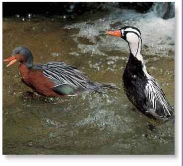 High-minded The torrent duck often swims with its body held very high — appearing to walk on the water.
