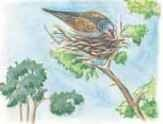 The turtle dove roosts and nests in woodland trees.