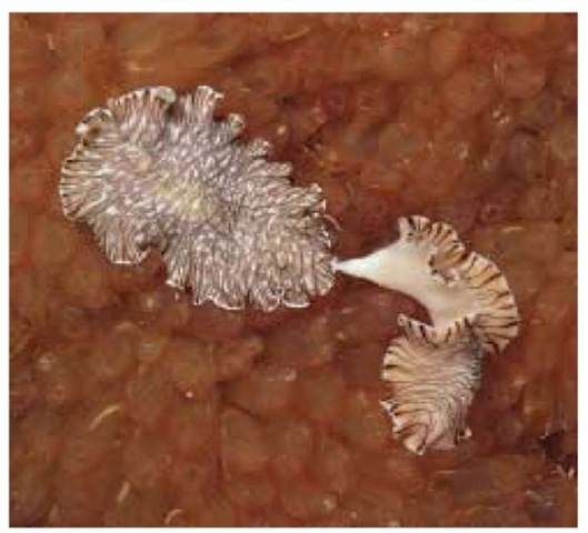 A tiger flatworm (Maritigrella fuscopunctata) using hypodermic insemination.