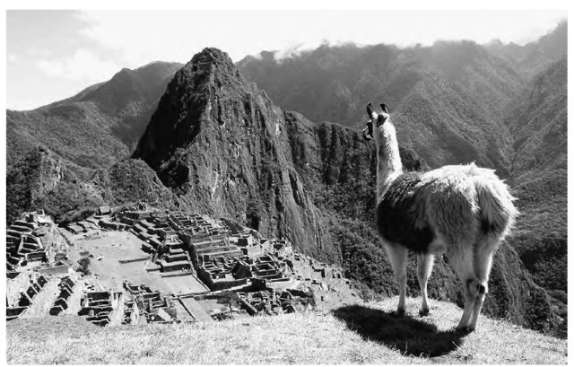 The llama was one of the few domesticated animals adapted for work in the New World, a place with a small number of animal and plant species and lack of ecological complexity before the Europeans arrived in about 1500 a.d.