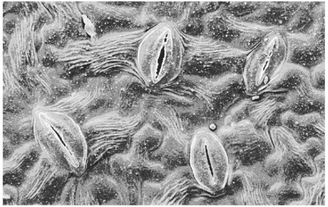 Scanning electron micrograph of the stomata, or pores, on the underside of an apple tree leaf. Leaf pores pull in carbon dioxide for photosynthesis-