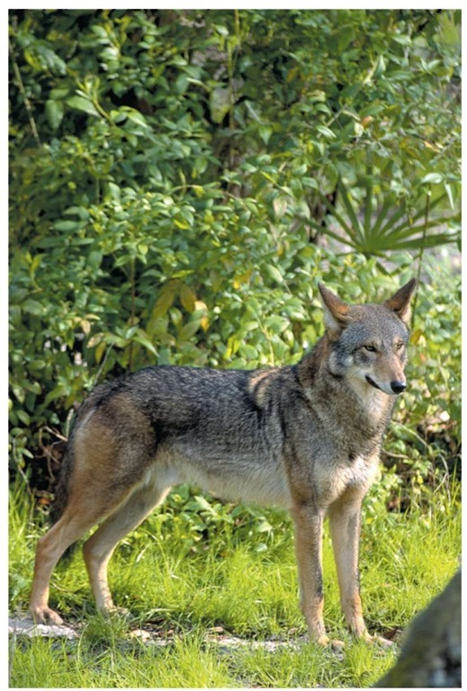Unlike the name implies, the red wolf is not always red in color. The animal's fur may vary from cinnamon to almost black.