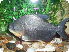 molly-pacu