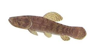 peixes-traira