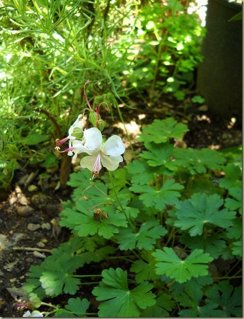Geranium macrorrhizum Alba 2