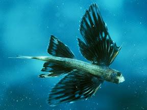 flying flish : ปลาบิน
