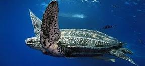 เต่าทะเลที่ใหญ่ที่สุดในโลก