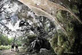 ใยแมงมุมที่ใหญ่สุดในโลก