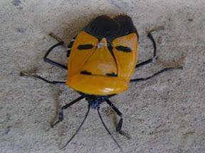 มวลแดง : แมลงหน้าเหมือนคน
