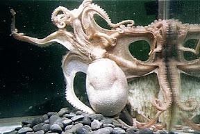 ปลาหมึกหนวดมากที่สุดในโลก