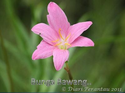 bunga bawang