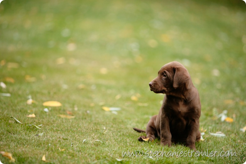 Lynden-Pet-Photographer-Chocolate-Lab-Puppies-104