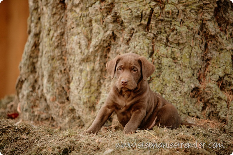 Lynden-Pet-Photographer-Chocolate-Lab-Puppies-107