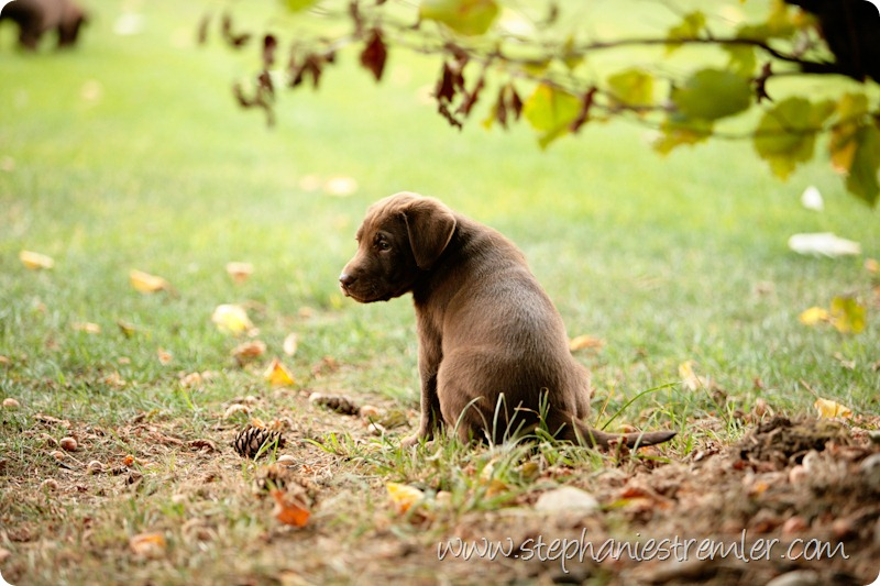 Lynden-Pet-Photographer-Chocolate-Lab-Puppies-109