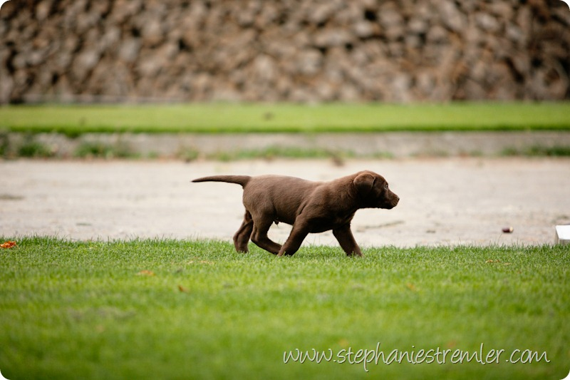 Lynden-Pet-Photographer-Chocolate-Lab-Puppies-111