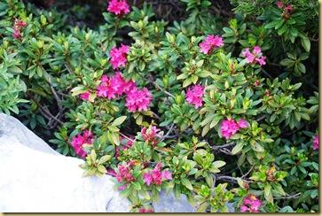 112-Rododendro