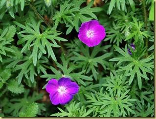123-Geranium sanguineum