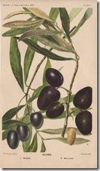 olives001