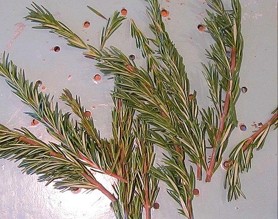 Fresh Rosemary Sprigs