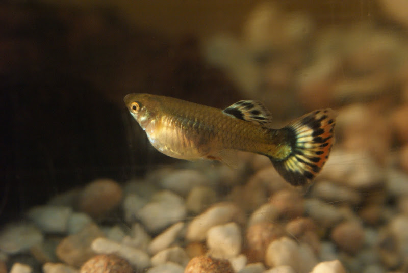 Fish tank forum view topic pregnant guppy for How long is a guppy fish pregnant