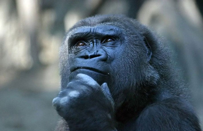 http://lh6.ggpht.com/_2QoLG9xQes8/SdLAnmFFZOI/AAAAAAAAANI/3PGUFMkh2Q0/s800/gorilla-thinking.jpg