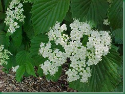 WF-planted 5-10-10 viburnum autumn jazz