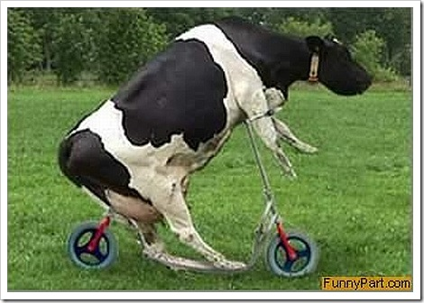 Funny cow picture - Scooter.
