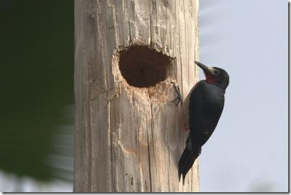 PR Woodpecker