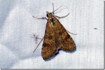 5156 - Nomophila nearctica - Lucerne Moth -02