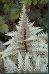 Athyrium niponicum var. pictum  Photo by Aleta Mueller