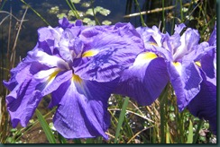 Iris ensata at Oregon Garden