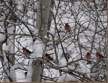 Rosy Finches in May