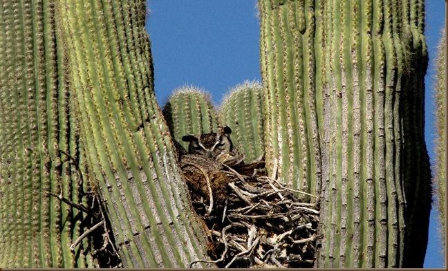 McDowell MTN Saguaro & Owl2