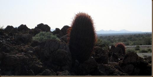Baby Saguaro