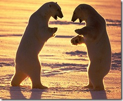 polar-bears-about-to-fight1