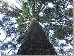 Pinheiro Araucária muito antigo e alto, preservado no Parque Ecológico