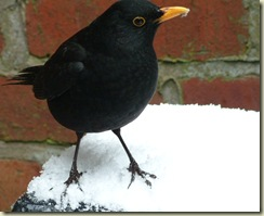 poor mister blackbird