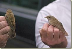sedge warbler and reed warbler